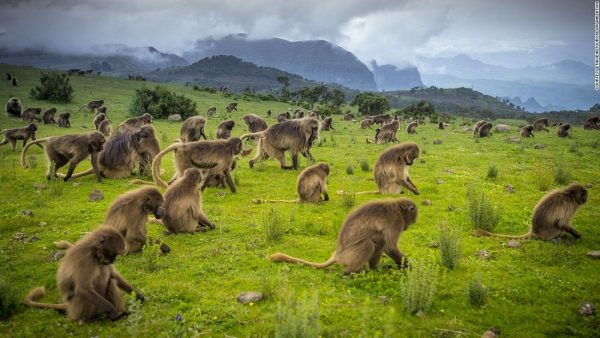 gelada-baboons-in-simien-mountains